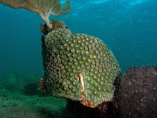 Green Star Coral Royalty Free Stock Image