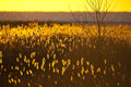 Free Field Of Backlit Reeds With Ocean In Background Royalty Free Stock Photography - 8285987