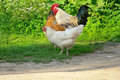 Free Hens Royalty Free Stock Photography - 8286527