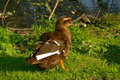 Free Wild-duck Stock Image - 8287001