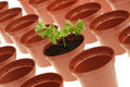 Free Parsley And Flowerpots. Royalty Free Stock Image - 8288626
