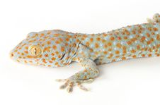 Free Gecko Royalty Free Stock Photo - 8280175