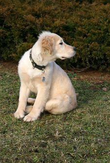Golden Retriever Puppy Watching Stock Image