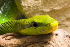 Free Red Tailed Racer Stock Photo - 8280200
