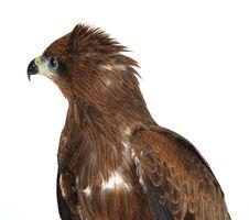 Free Eagle On White Stock Images - 8280454