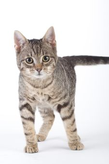 Free Standing Striped Kitten, Isolated Royalty Free Stock Photography - 8280497