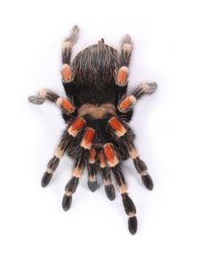 Free Tarantula Royalty Free Stock Images - 8280499