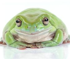 Free Frog Royalty Free Stock Photography - 8280567
