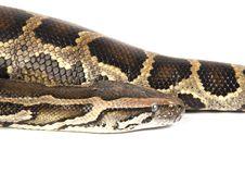 Free Burmese Python Stock Photo - 8280650