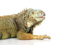 Free Iguana Stock Photos - 8280903