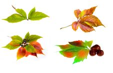 Free Leafage Of Wild Grape Stock Photos - 8280983