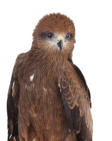 Free Eagle On White Stock Images - 8281284