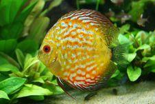 Free Symphysodon Aequifasciatus Stock Image - 8281461