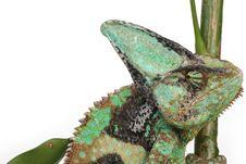 Free Chameleon Royalty Free Stock Photography - 8281467
