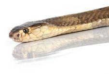Free Isolated King Cobra Stock Photos - 8281583