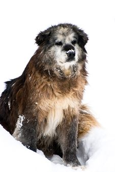 Free Dog In Snow Stock Photos - 8282273