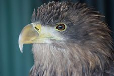 Free Eagle Royalty Free Stock Photography - 8282947