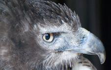 Free Eagle Stock Photo - 8283010