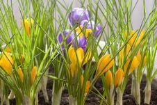 Free Spring Crocus Stock Photo - 8283160