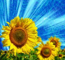 Free Sunflowers Royalty Free Stock Photo - 8283425
