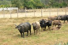 Free Herd Of Asian Buffaloes Stock Images - 8283484
