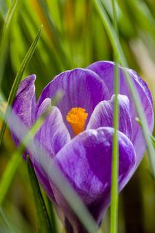 Free Spring Crocus Royalty Free Stock Photos - 8283508