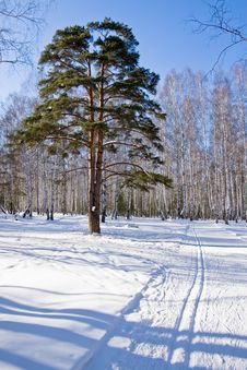 Free Winter Forest Stock Photo - 8283590