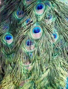 Free Peacock Feather Royalty Free Stock Photos - 8284038