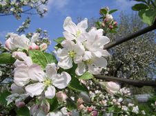 Free Blossoming Branch Of An Apple-tree Stock Images - 8284304