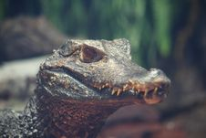 Free Nile Crocodile Stock Image - 8284551