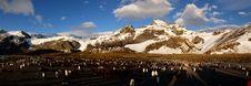 Free King Penguin Stock Photo - 8284660