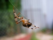 Free Spider Royalty Free Stock Photography - 8284797