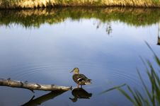 Free Duck On The Lake Stock Images - 8286564