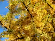 Free Larch Gold Stock Photography - 8286672