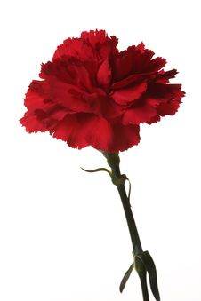 Free Red Carnations Are The Flowers Of Victory. Royalty Free Stock Photos - 8286828