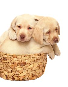 Free Puppies. Stock Photography - 8286872