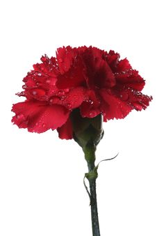 Free The Red Carnation And Drops Of Water. Royalty Free Stock Image - 8286906