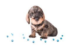Free Small Puppy Among Glue Glass Balls Royalty Free Stock Images - 8287549