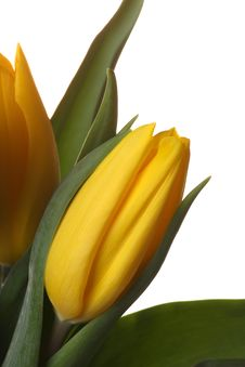 Free Yellow Tulips. Royalty Free Stock Photography - 8287757