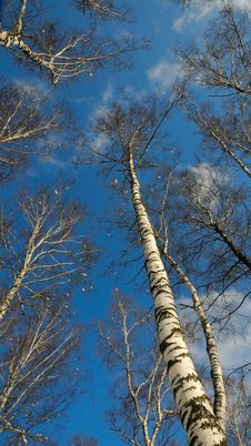 Free Blue Sky, White Clouds And Top Of Trees. Royalty Free Stock Photos - 8287818