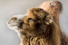 Free Camel Stock Images - 8287884