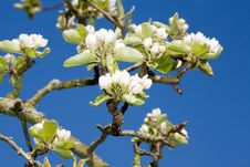 Free Apple Tree Blossom. Stock Image - 8288521