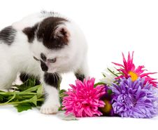 Free Kitten Taking Aster Flowers Stock Photos - 8288893