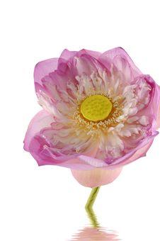 Free Fresh Lotus Stock Image - 8288901