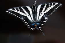 Free Pale Swallowtail Butterfly Stock Images - 8289064