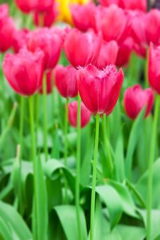 Free Colorful Tulips In Spring Stock Photo - 8289070