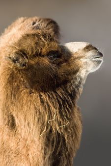 Free Camel Royalty Free Stock Image - 8289616
