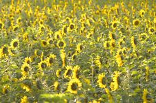 Free Field Of Sunflowers Stock Photos - 82893103