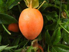 Free Passiflora Fruit Ripe Stock Image - 82893111