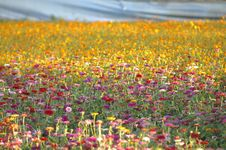 Free Field Of Flowers Royalty Free Stock Images - 82894019